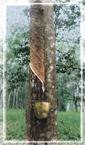 rubbertree